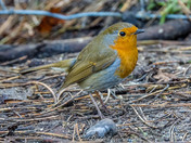 Robin Red Breast - The UK's favourite bird