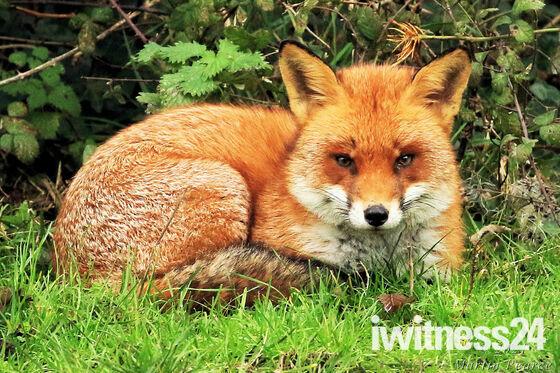 Beautiful fox at Worlebury