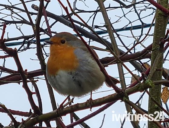 Robin posing on chilly morning