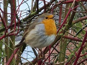 Robin posing on chilly morning