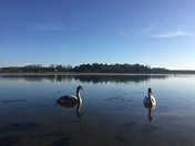 Swans on the River Deben Woodbridge