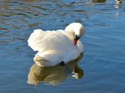 SWAN PREENING IT'S FEATHERS ON THE RIVER WENSUM