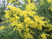 Yellow acacia flowers in bloom