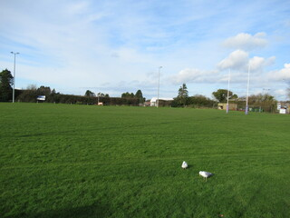 Two seagulls in Exmouth RFC