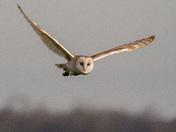 Barb Owl