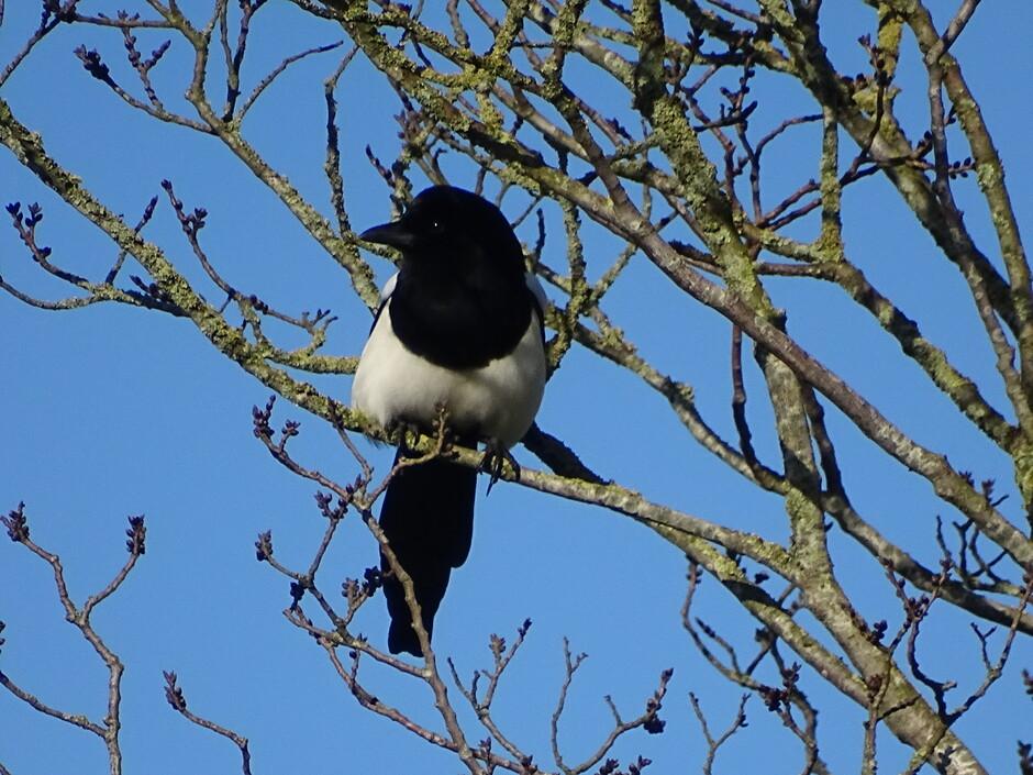 Tuinvogeltelling van 11 uur tot 11.30 uur ( ekster in de boom 11.23 uur )
