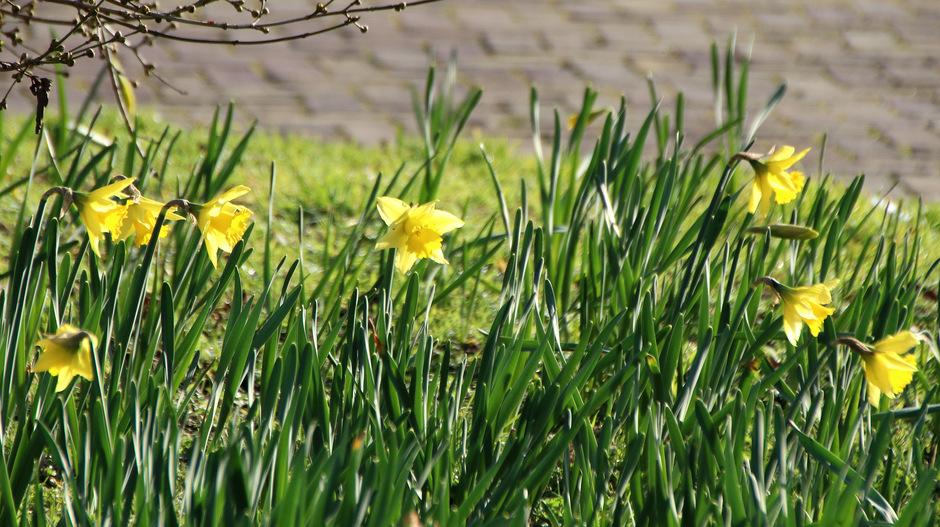 narcissen staan al in bloei