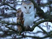 Barn Owl on my walking field.