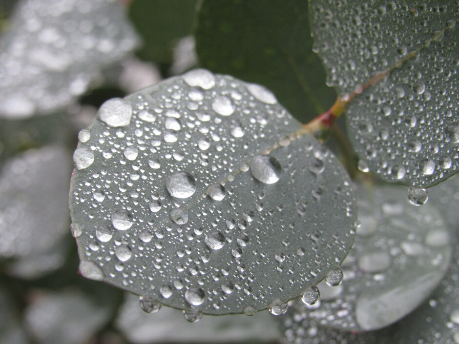 Druppels eucalyptus