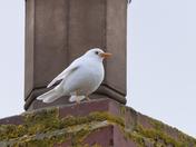 A super-rare White Blackbird