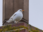 A super-rare White Blackbird