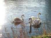 Swans on the river wensum