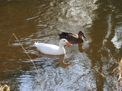 Ducks on the river wensum