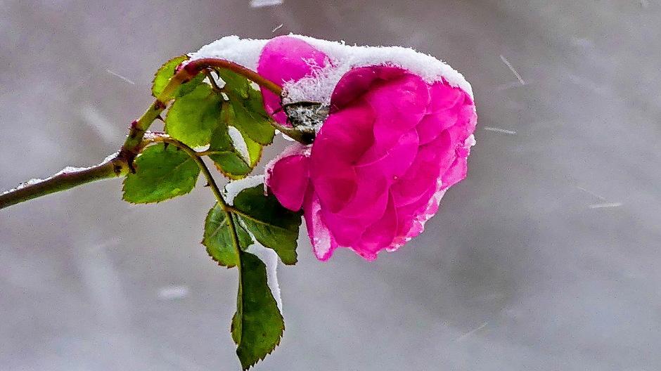 Besneeuwd roosje / Grijze sneeuwlucht