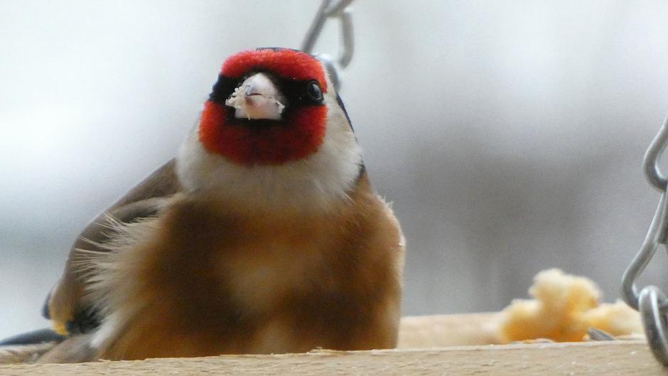 Hongerig, vogelvoer niet aan te slepen