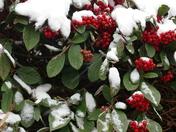 Snow Berries.