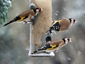 Goldfinches in the snow.