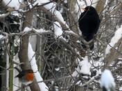Blackbird and  Robin