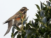 Beautiful Redwing