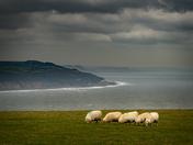 Beer Sheep