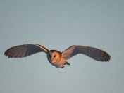beautiful barn owl in flight