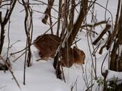 Baby Deer in the snow