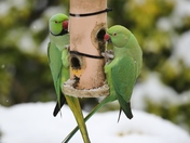Hungry Parakeets