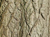 PRETTY BARK PATTERNS ON THE TREE AT FAKENHAM