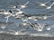 Feeding frenzy at California Norfolk