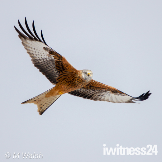Wings of an Angel.  Red Kite