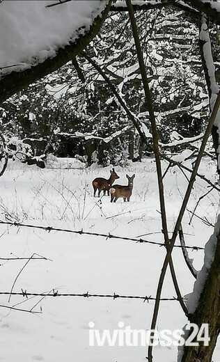 Deer's at Old Beetley