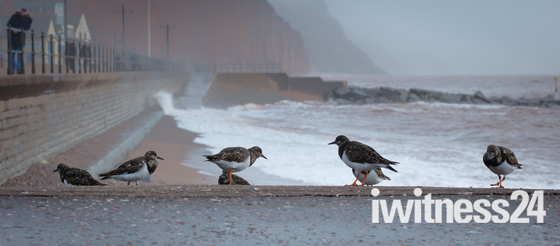 Turnstones at Sidmouth