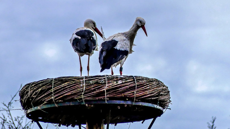 Ooievaarspaar op het nest