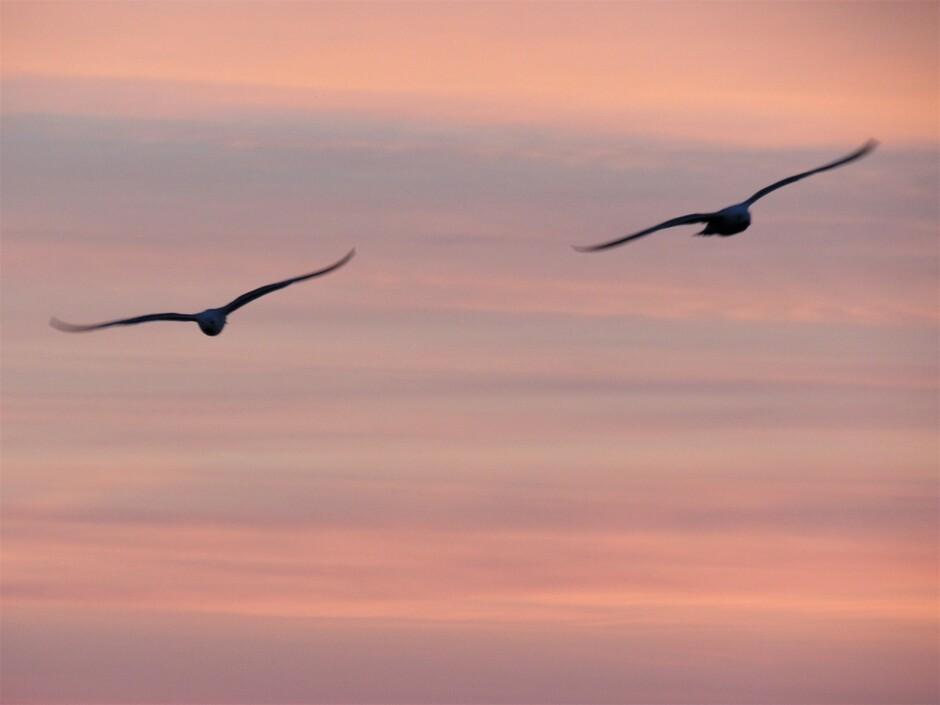2 meeuwen in het ochtendrood tijdens zonsopkomst