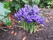Blue irises in bloom in Manor Gardens, Exmouth