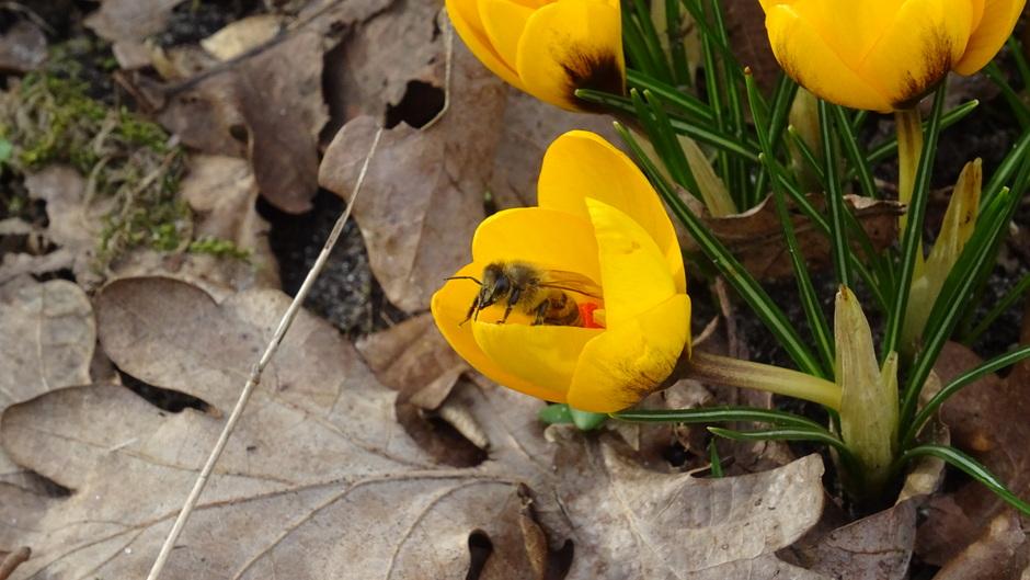De bijen zijn al druk in de weer en dat in februari