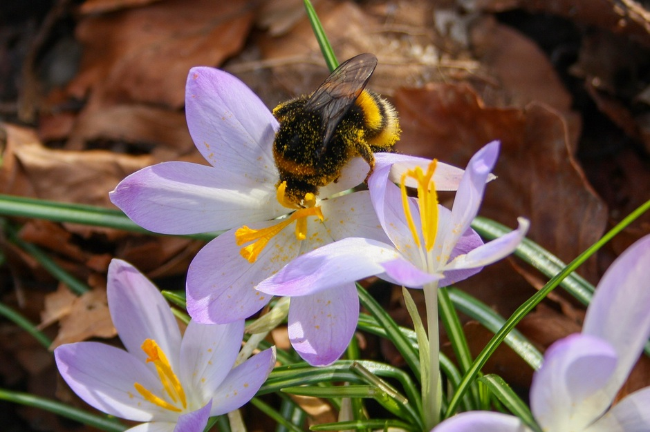Hommels en krokussen...Voorjaar!