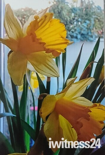 Spring daffodils in Sidmouth