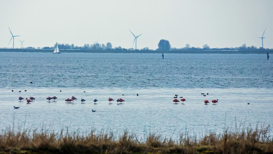 Flamingo's in de Grevelingen in het zonnetje
