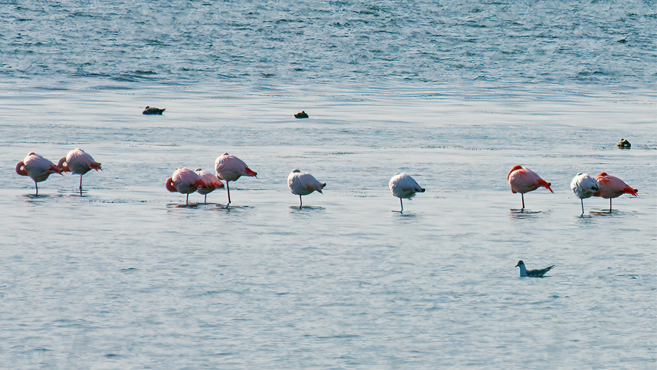 Beroemde flamingo's in de Grevelingen