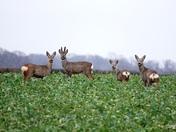 Roe deer on the horizon.