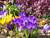 CROCUS IN THE SUN IN MY GARDEN AT HEMPTON