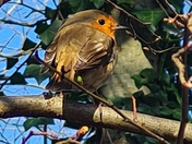 Mr Robin enjoying the spring sunshine