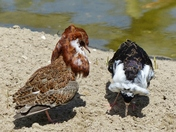 PROJ 52, SIGNS OF SPRING.   RUFF DOING THEIR MATING RITUAL AT PENSTHORPE