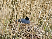 PROJ 52, SIGNS OF SPRING.   COOT ON THE NEST  AT PENSTHORPE