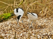 PROJ 52, SIGNS OF SPRING.   AVOCETS BUILDING A NEST AT PENSTHORPE