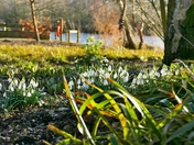 PROJ 52, SIGNS OF SPRING.   SNOWDROPS IN THE WOODS AT PENSTHORPE