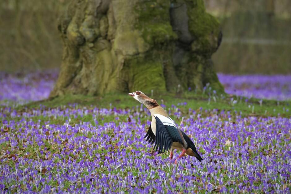 Nijlgans doet de lentedans