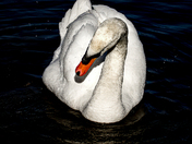 Swan at Whitlingham