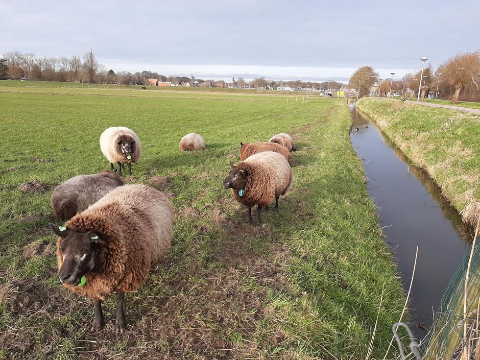 Dikke schapen